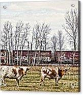 Cattle Train Acrylic Print