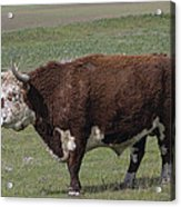 Cattle With Horns Full Body Portrait Acrylic Print