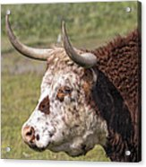 Cattle With Horns Side Portrait Acrylic Print