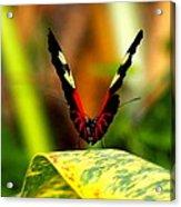 Cattleheart Butterfly  Acrylic Print