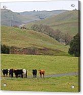 Cattles At Fernandez Ranch California - 5d21062 Acrylic Print