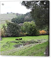 Cattles At Fernandez Ranch California - 5d21066 Acrylic Print by Wingsdomain Art and Photography