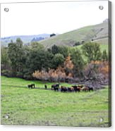 Cattles At Fernandez Ranch California - 5d21070 Acrylic Print by Wingsdomain Art and Photography