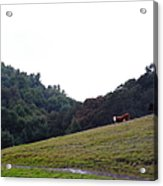 Cattles At Fernandez Ranch California - 5d21106 Acrylic Print