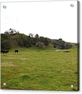 Cattles At Fernandez Ranch California - 5d21124 Acrylic Print by Wingsdomain Art and Photography