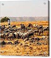 Cattles Acrylic Print