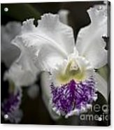 Cattleya Catherine Patterson Full Bloom Acrylic Print