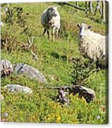Cautious Sheep In The Pasture Acrylic Print