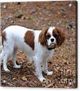 Cavalier Dog Acrylic Print