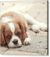 Cavalier Puppy Acrylic Print by Kay Pickens