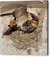 Cave Swallows Acrylic Print