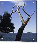 Cavtat Tree Acrylic Print