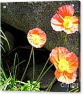 Cavy Poppies Acrylic Print