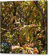 Cchestnut Tree In Autumn Acrylic Print