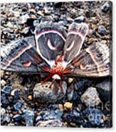 Cecropia Moth Blending In Acrylic Print