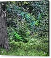 Cedar Along The Trail Of Cedars Glacier National Park  Acrylic Print