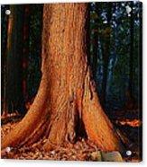 Cedar At Sunset Acrylic Print