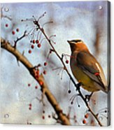 Cedar Waxwing And Berries Acrylic Print