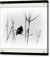 Cedar Waxwing - Black And White  Acrylic Print