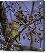 Cedar Waxwing Eating Berries 9 Acrylic Print