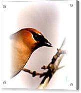 Cedar Waxwing - Img_9833-004 Acrylic Print