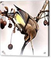 Cedar Waxwing - Img_9835-7x5 Acrylic Print