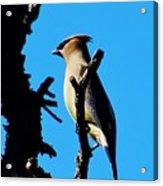 Cedar Waxwing In Tree 030515aaa Acrylic Print