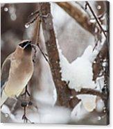 Cedar Waxwing In Winter Acrylic Print