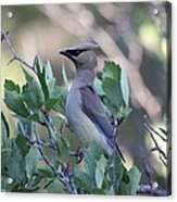 Cedar Waxwing On The Malheur National Forest Acrylic Print
