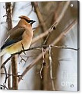 Cedar Waxwing Pictures 52 Acrylic Print