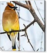 Cedar Waxwing Pictures 53 Acrylic Print