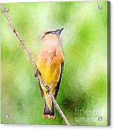 Cedar Waxwing Watercolor Art  Acrylic Print