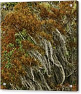 Cedars In The Fall Acrylic Print