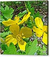 Celandine Poppy Or Wood Poppy - Stylophorum Diphyllum Acrylic Print
