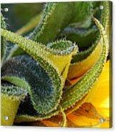 Celebration Sunflower Acrylic Print