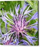 Centaurea Montana Blue Flower Acrylic Print