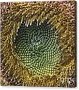 Center Of The Sunflower Acrylic Print
