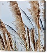 Central Coast Pampas Grass II Acrylic Print