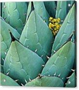 Century Plant And Tiny Blossom Acrylic Print