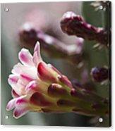 Cereus Hexagonus Pink Acrylic Print