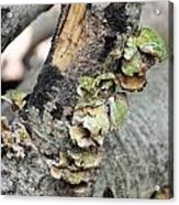Violet-toothed Polypore Acrylic Print