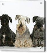 Cesky Terrier Dogs Acrylic Print