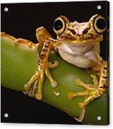 Chachi Tree Frog Ecuador Acrylic Print
