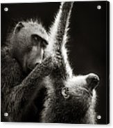 Chacma Baboons Grooming Acrylic Print