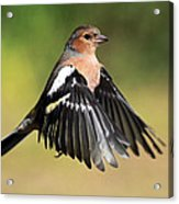 Chaffinch In Flight Acrylic Print