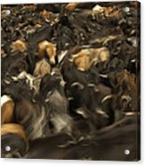 Chagras Round-up Cattle Ecuador Acrylic Print