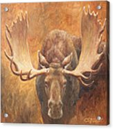 Bull Moose - Challenge Acrylic Print by Crista Forest