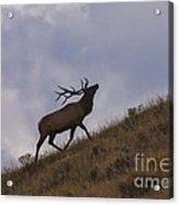 Challenge Of The Bull Elk Acrylic Print