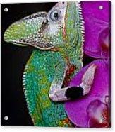 Chamaeleon Acrylic Print