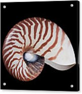 Chambered Nautilus Acrylic Print